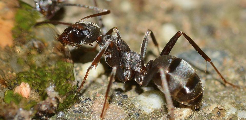 černý mravenec