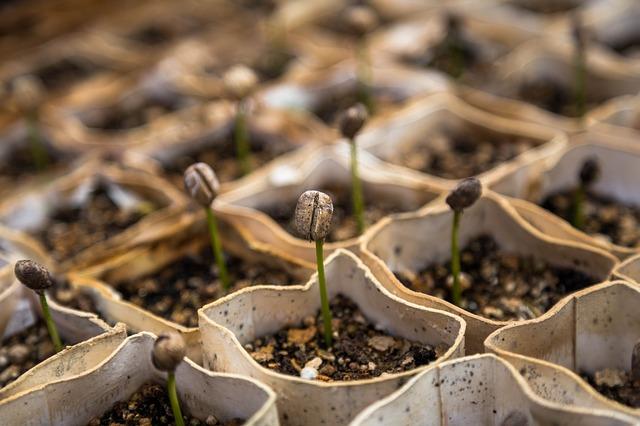 pěstování v kelímkách