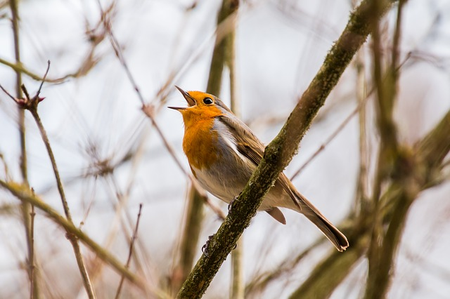 ptačí zpěv